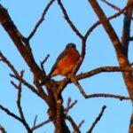 Resident Bluebird 1-4-13