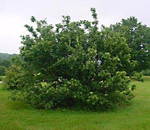Chionanthus_retusus-tree-BF
