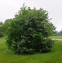fringe tree bernheim arboretum and research forest