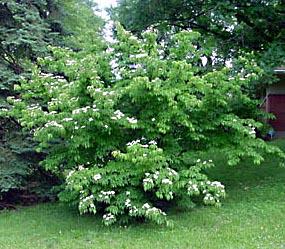 Cornus_kousa-tree2-BF