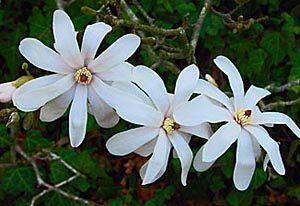 Bernheim at 90: Celebrating the Magnolia Collection