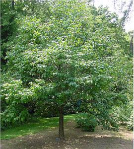 Syringa-tree-BF