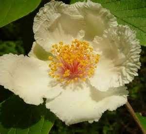stewartia ovata flower