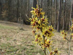 hybrid witchhazel Hamamelis x 'Imperalis'
