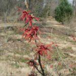 vernal witchhazel Hamamelis vernalis 'Purpurea'
