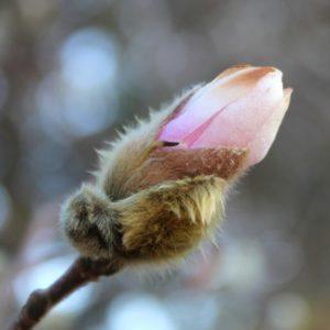 Magnolia kobus 'stellata' bloom 3-20-14