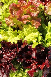 edibleGard_lettuce