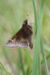 Dusted Skipper Butterfly 2015