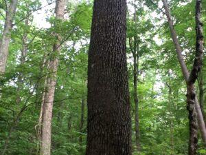 Black cherry bark, on mature trees looks like burnt potato chips.