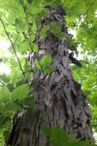 Virtual Discovery Station: Native Tree Series, Part 7 - Shagbark and Shellbark Hickory