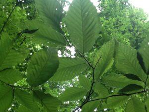 beech leaves9)