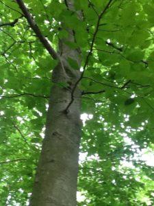beech tree (7)