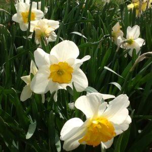 Daffodils Stock
