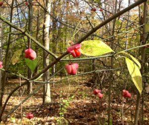 wahoo spindel tree