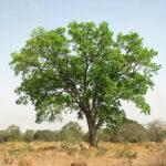 Vanishing Acts: Big-Leaf Mahogany