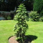 Vanishing Acts: Wollemi Pine