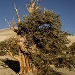 Vanishing Acts: Bristlecone Pine