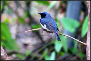 Black-throated Blue Warbler CC photo credit cuatrok77 via Visual Hunt CC BY- NC-S