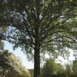 Oak Tree at Bernheim