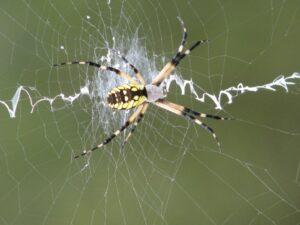 Garden SpiderIMG_6405