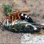The Bugs of Bernheim: Cicada Killers