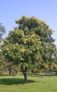 golden_rain_tree_5326f805-b8c5-458e-9e3a-ff89e56538a6