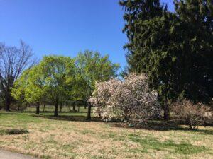 Magnolia and lilac near entrance 3-10-17