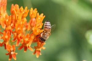 Bernheim Pollinators: The European Honey Bee