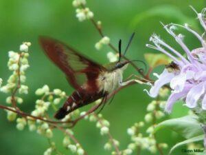 Bernheim Pollinators: The Hummingbird Clearwing Moth