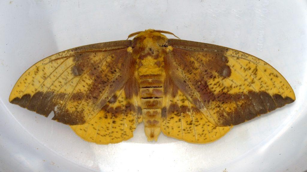 Bernheim Pollinators: The Imperial Moth