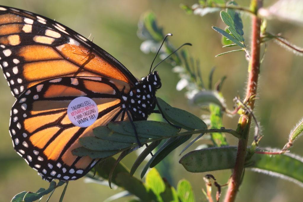 Bernheim Pollinators: Butterflies as Pollinators