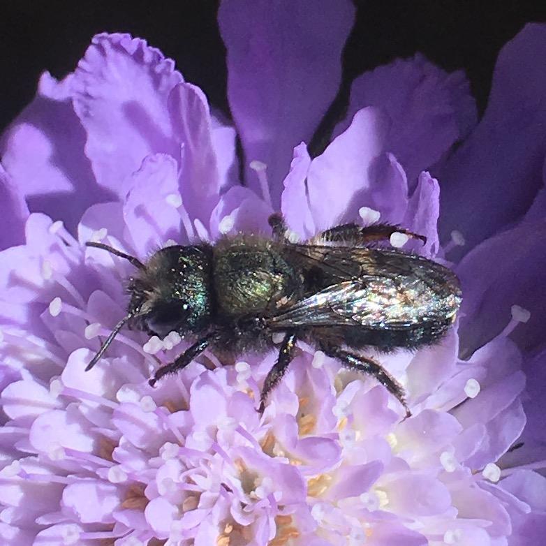 bernheim pollinators the blue orchard mason bee