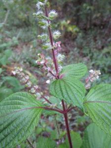 Invasive Species Spotlight: Beefsteak Plant