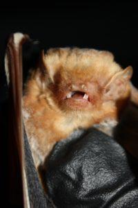 Bats in Winter