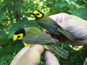 The Birds of Bernheim: Motus Bird Tracking Update