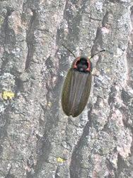 Winter firefly in Bernheim?