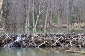 Virtual Discovery Station: Beavers