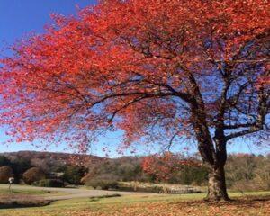 Virtual Discovery Station: Native Tree Series, Part 9 - Black Gum