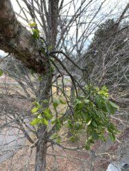 Mistletoe: Gift or Grinch?