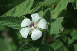 Featured Edible Garden Plant: Marshmallow