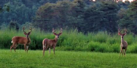 """Deer"" Bernheim"